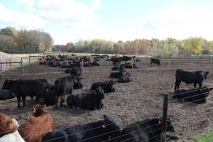 MCA MSU Bull Test Facility Plank Farms Crystal Michigan