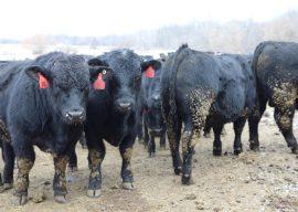 2017 Michigan Bull Breeding Soundness Exam Clinics